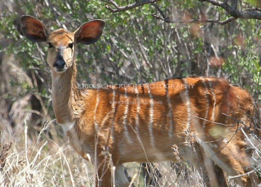 IMG_0220 - Nyala (female) Version 2