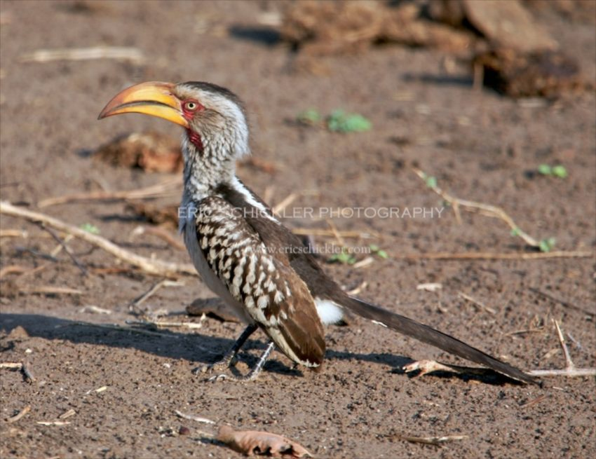 IMG_0434 - Yellow-billed Hornbill