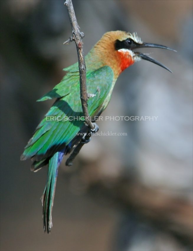 IMG_0664 -White-fronted Bee-eater  - Version 6