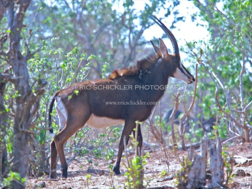 IMG_0830 -Giant Sable Antelope (Male Bull)