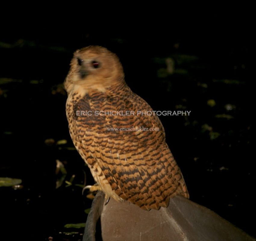 IMG_1283 - Pells Fishing Owl